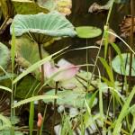 Printmaking artist's village - lotus pond