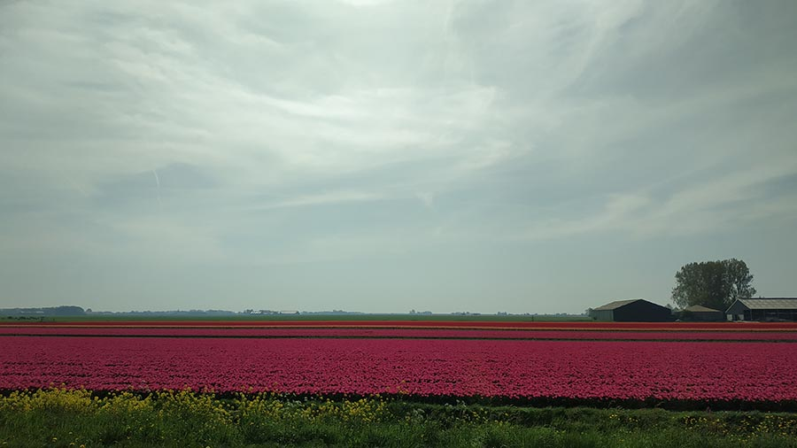 Tulips bloomed in the fields...