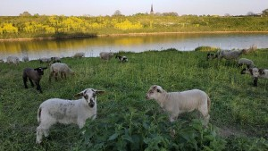 Lambs...